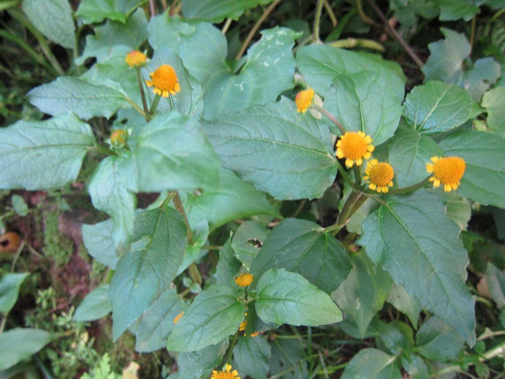 <b>Tremedeira</b><br>Muito presente na culinária paraense, o jambu (ou agrião paraense) é uma folha que deixa a boca com uma leve tremedeira, ou dormência.