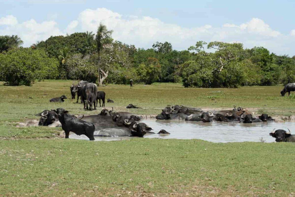 <b>Ilha do Marajó</b><br>Abriga a maior criação de búfalos do Brasil e é repleta de praias inexploradas.